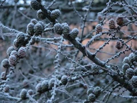 1081406-frosty-pine-cones-570-428.jpg